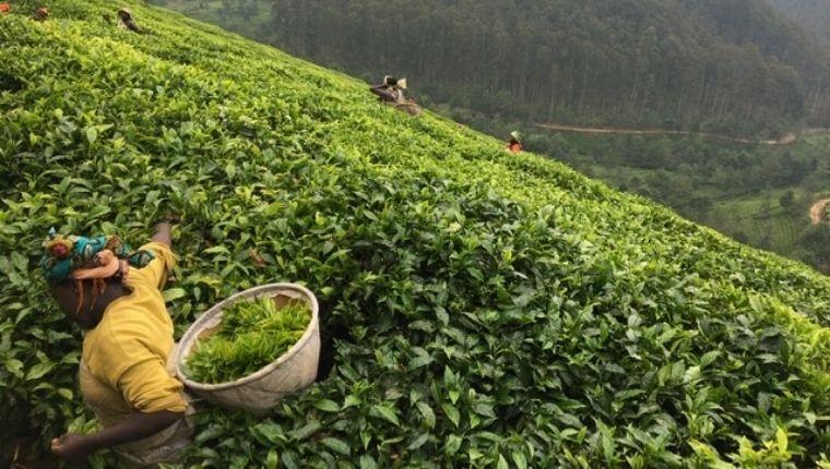 お茶を摘む女性
